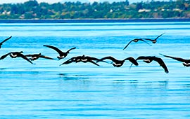 Flock of geese flying over water